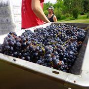 torchio uva