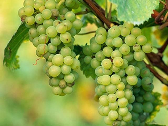 Calorie uva bianca curiosit uva - Calorie uva bianca da tavola ...