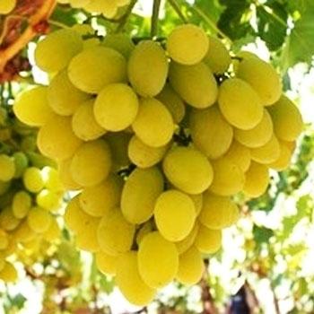 Coltivazione uva da tavola curiosit uva - Uva da tavola bianca ...