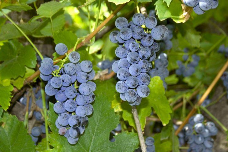 Uva fragola coltivazione curiosit uva for Uva fragola in vaso