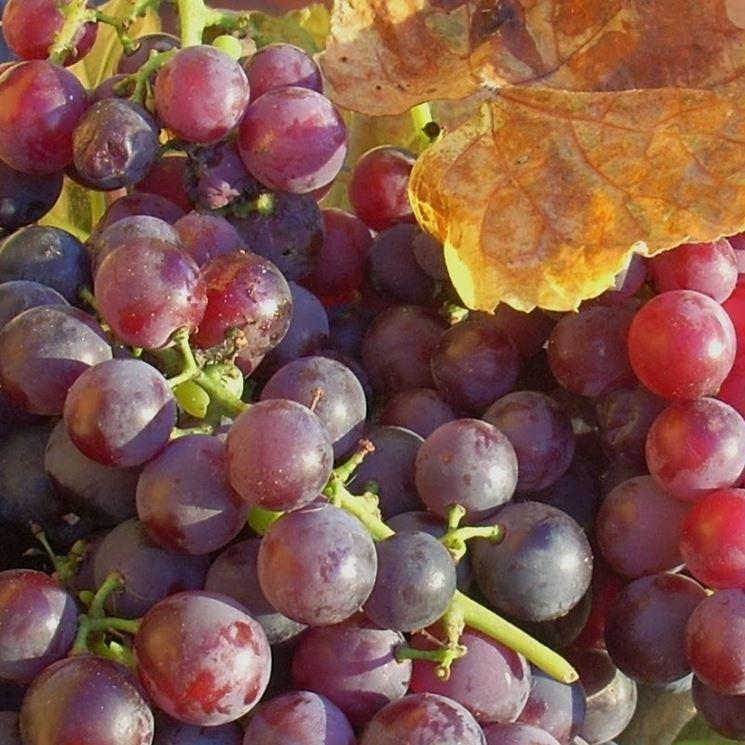 grappolo uva fragola