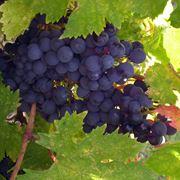 Uva fragola propriet curiosit uva propriet uva fragola for Sognare uva fragola