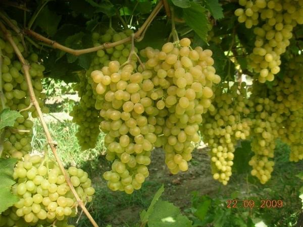 Uva sultanina propriet curiosit uva - Potatura uva da tavola ...