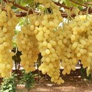 uva apirene