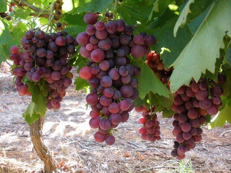 Uva cardinal uva - Uva da tavola precoce ...