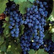 uve montepulciano