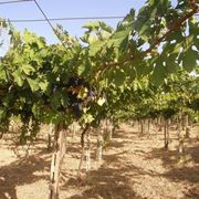 uva montepulciano