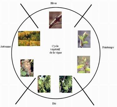 ciclo vegetativo della vigna