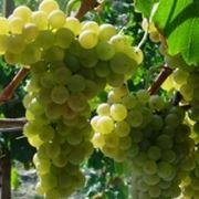 vino arneis