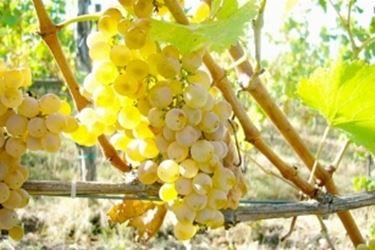 un grappolo di Falanghina