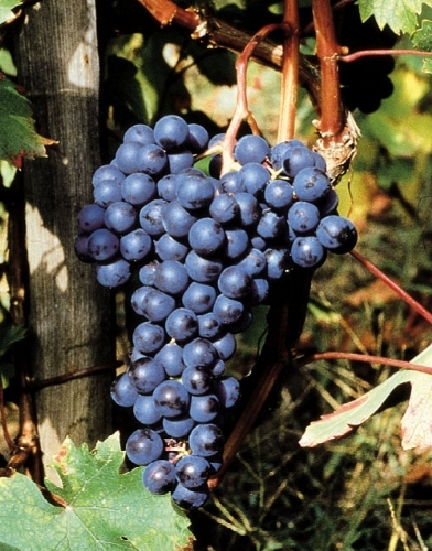 Dolcetto vitigni rossi caratteristiche del dolcetto - Uva da tavola precoce ...