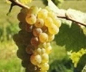 Vini bianchi