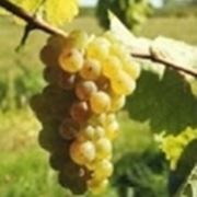 http://vins-beck.fr/images/grapes/sylvaner.jpg