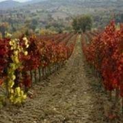 http://www.orangesiena.it/public/viticoltura3.jpg