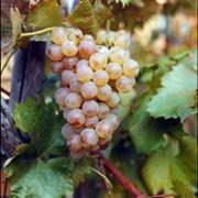 vino ligure