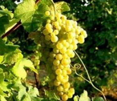 Vino bianco marche