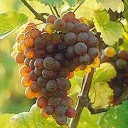traminer vino