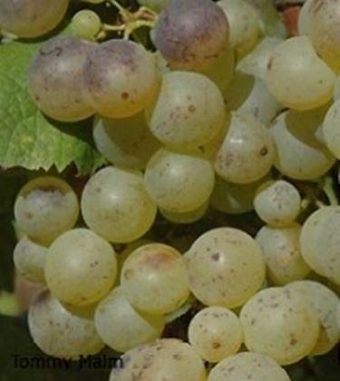Un grappolo di Sémillon