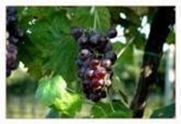 La produzione di un vino di pregio parte dalla vigna