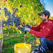 La vendemmia dell'uva in autunno