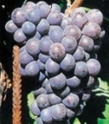 Un grappolo di Gaglioppo