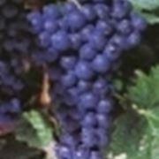 http://www.fisarlodi.it/foto/grandi/cornalin-8.jpg