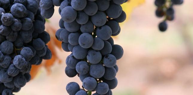 <h6>Botticino </h6>Quando si parla del Botticino, si fa riferimento ad un vino rosso DOC prodotto in un'area pedemontana a nord-est di Brescia