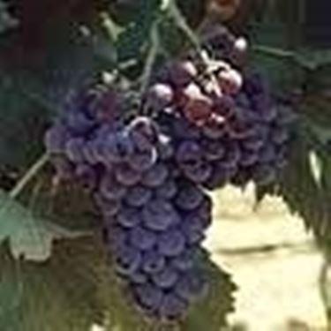 un grappolo di Cannonau