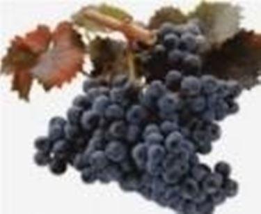 Un grappolo di uva Monica