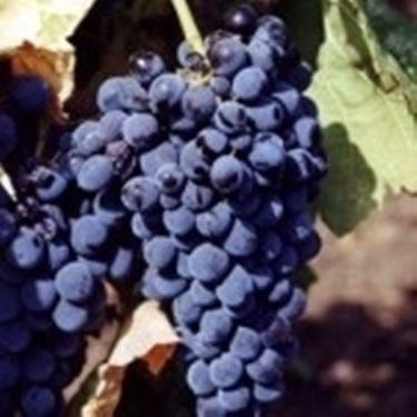 Il Nero d'Avola, simbolo di Sicilia