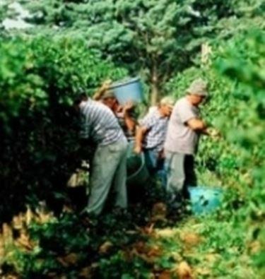 La raccolta delle uve