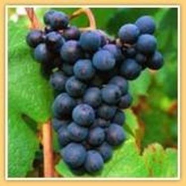 l'uva Gamay