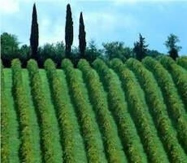 vigne coltivate a Sagrantino