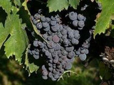 un grappolo di uva Sagrantino