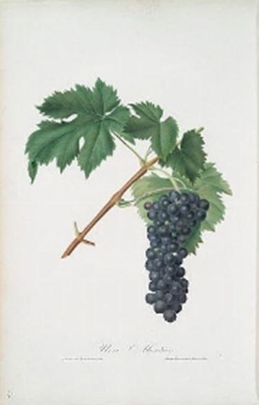 La raffigurazione botanica dell'Aleanico