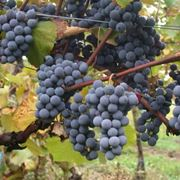 http://upload.wikimedia.org/wikipedia/commons/3/38/Gamay.jpg