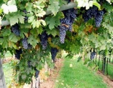 foto vino